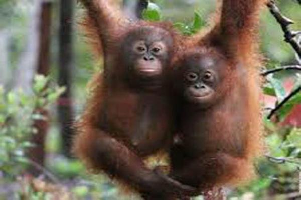 Orangutan - Ilustrasi