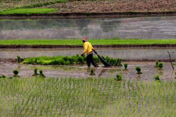 Petani mengangkut benih padi di area pesawahan Pulo Ampel, Serang, Banten, Rabu (17/1/2018). - Antara/Weli Ayu Rejeki