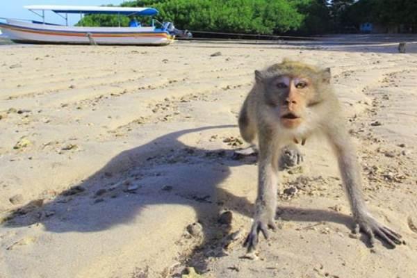Ilustrasi: Monyet liar - Antara