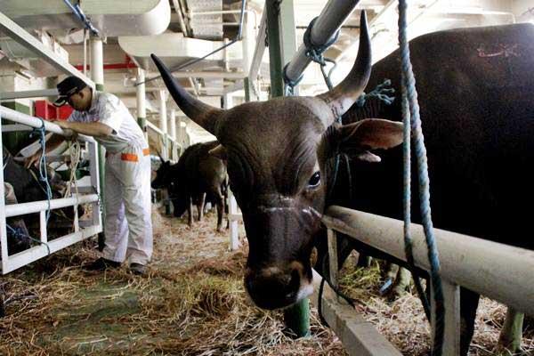 Anak Buah Kapal KM Camara Nusantara 5 memeriksa sejumlah sapi yang akan dikirim ke Samarinda, Kalimantan Timur di Pelabuhan Tenau Kupang, NTT, Senin (6/8/2018). - ANTARA/Kornelis Kaha