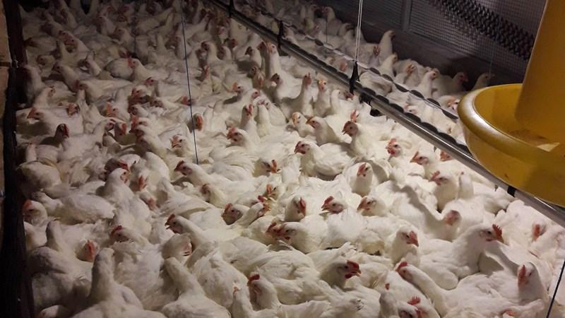Ayam broiler. - Berdikari