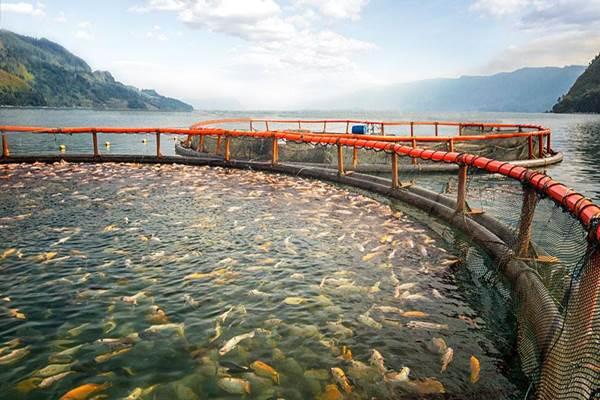 Jaring apun ikan nila di Danau Toba. - ISTIMEWA