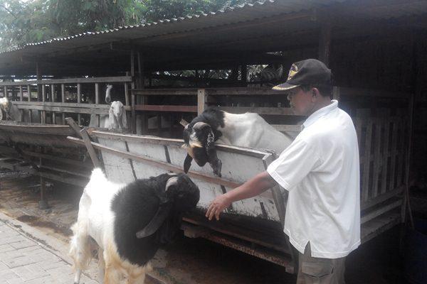 Ilustrasi peternak kambing etawa. - Bisnis.com/Novita Sari Simamora