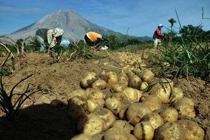 Buruh memanen kentang di area perkebunan dengan latar belakang Gunung Sinabung di Desa Sukandebi, Karo, Sumatera Utara, Jumat (8/3/2019). - ANTARA/Irsan Mulyadi