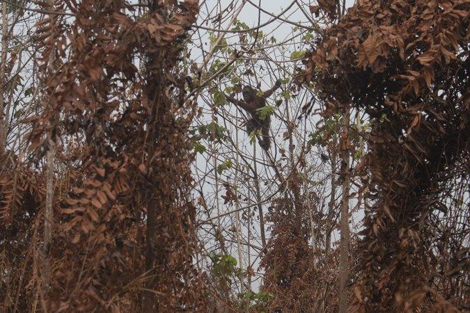 Orangutan bergelantungan di pohon di lokasi karhutla di Desa Sungai Awan Kiri, Kecamatan Muara Pawan, Kabupaten Ketapang, Kalimantan Barat, Senin (16/9/2019). - ANTARA / IAR Indonesia/Heribertus