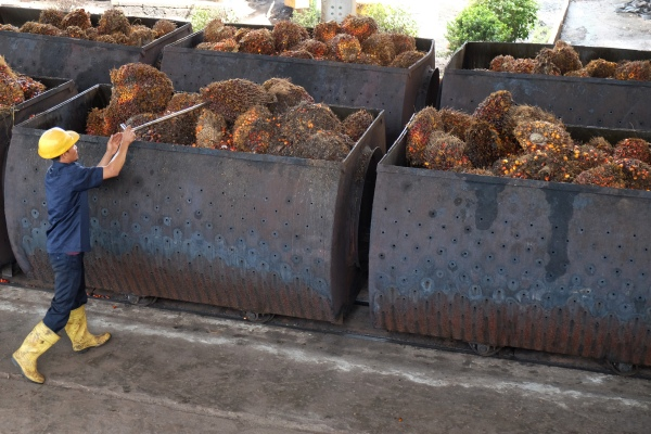 Pekerja menyusun tandan buah segar kelapa sawit untuk diolah menjadi Crude Palm Oil (CPO). - ANTARA FOTO/Irsan Mulyadi