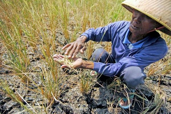 Seorang petani menunjukkan padi yang rusak akibat sawahnya mengalami kekeringan di Desa Kademangaran, Kabupaten Tegal, Jawa Tengah, Senin (24/6/2019). - ANTARA FOTO/Oky Lukmansyah