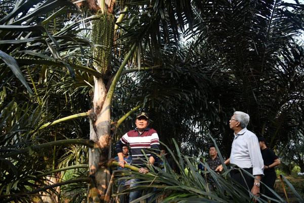 Gubernur Sumsel Herman Deru (dari kiri) Bersama Wakil Gubenur Sumsel Mawardi Yahya meninjau tanaman aren di Kabupaten Ogan Ilir. Foto: Istimewa