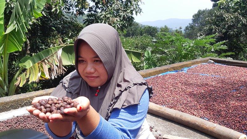 Salah satu anggota Pemberdayaan Kesejahteraan Keluarga Dusun Kopi Sirap, Kec. Jambu, Semarang, Jawa Tengah menunjukkan hasil panen kopi yang tengah dijemur, Minggu (8/9/2019). - Bisnis / M. Richard