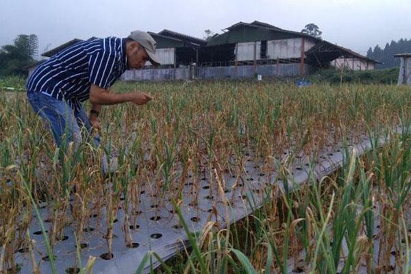 Petani memeriksa pertanaman bawang putih di Desa Langensari, Kecamatan, Sukareja, Kabupaten Sukabumi, Jawa Barat, Rabu (29/5/2019). - Antara/Subagyo