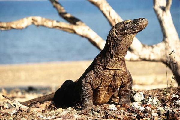 Komodo - Istimewa