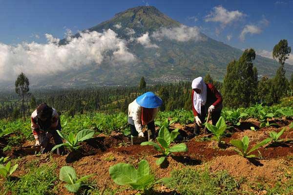 Petani menyiangi rumput di antara tanaman tembakau. - Antara/Anis Efizudin