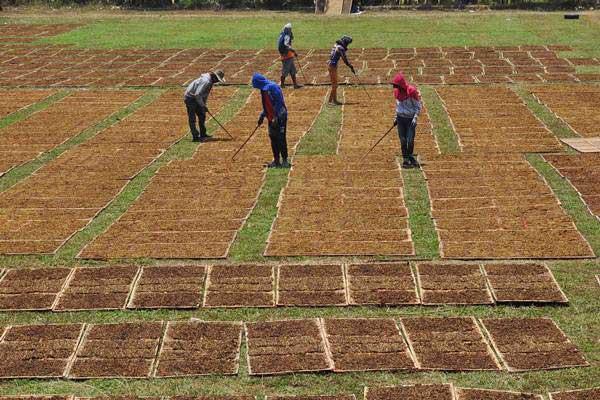 Warga menjemur tembakau rajangan di lapangan Desa Ngadimulyo, Kedu, Temanggung, Jateng, Rabu (13/9). - ANTARA/Anis Efizudin