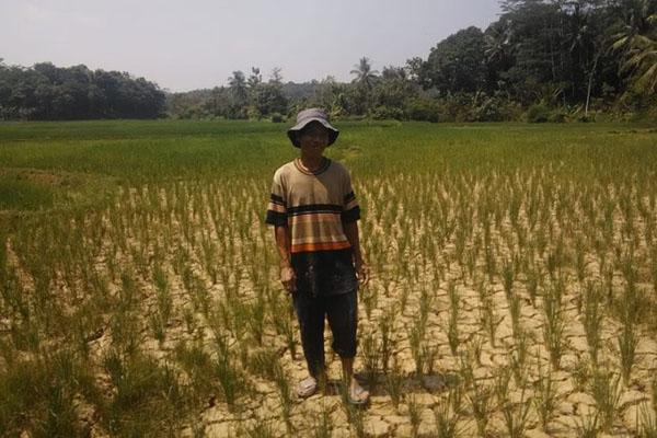 Asnawi, petani di Lebak, berdiri di tengah sawahnya yang kekeringan pada Rabu (31/7/2019). - Antara