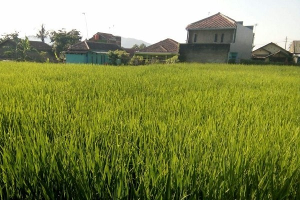 Hamparan tanaman padi jenis ketan hitam - Dok. Kementan