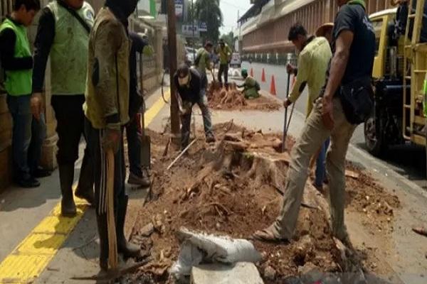 Penebangan pohon angsana di trotoar Cikini, Jalan Pegangsaan Timur, Jakarta Pusat, Senin (4/11/2019). - Antara