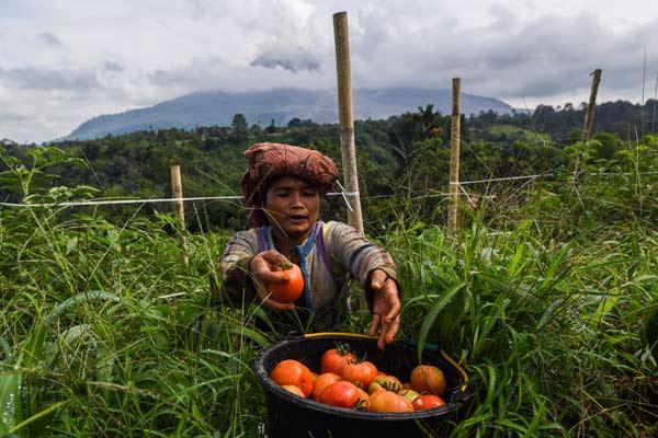Petani memanen tomat di sebuah lahan pertanian di lereng gunung Sinabung, Karo, Sumatera Utara, Minggu (7/6). Walaupun mereka beraktivitas di zona bahaya, para petani tersebut tetap waspada terhadap ancaman bahaya gunung Sinabung.  - ANTARA
