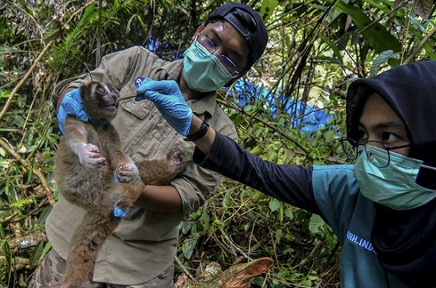 Tim medis mengecek kondisi kesehatan seekor Kukang Jawa (Nycticebus javanicus) sebelum dilepasliarkan - Antara