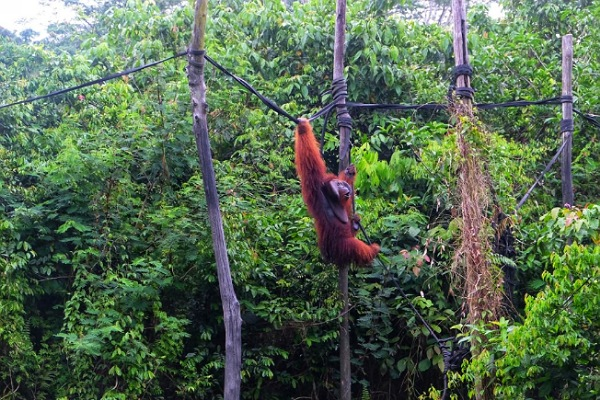 Salah satu Orangutan Borneo sedang bergerak di antara pohon di dalam kawasan yang dikelola Yayasan Penyelamatan Orangutan Borneo (The Borneo Orangutan Survival Foundation/BOSF.  - JIBI/Istimewa
