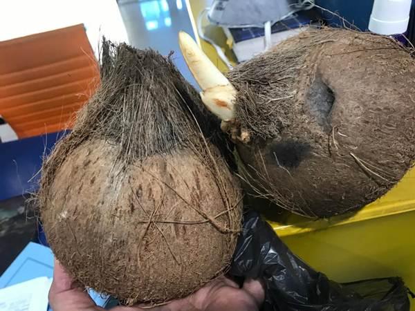 Salah satu kelapa bulat yang telah diekspor Sumsel dan ditolak Thailand sehingga dire-impor. - Istimewa
