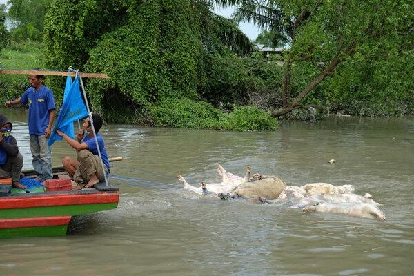 Petugas gabungan menyeret bangkai babi mengunakan perahu di aliran Sungai Bederah, untuk dikubur, di Kelurahan Terjun, Medan, Sumatera Utara, Selasa (12/11/2019). Sedikitnya 5.800 ekor babi mati diduga akibat wabah virus Hog Kolera dan African Swine Fever atau demam babi Afrika di 11 kabupaten/kota di Sumut. - Antara/Irsan Mulyadi