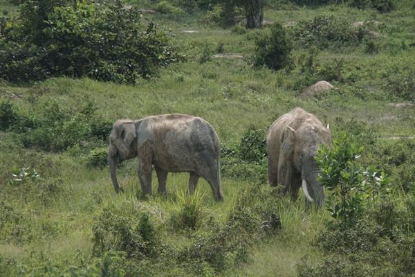 Sejumlah gajah mencari makan di padang rumput Pusat Pelatihan Gajah di Pekanbaru, Jumat (22/11/2019). Aktivitas gajah di pusat pelatihan yang dikelola Balai Besar Konservasi Sumber Daya Alam Riau  tersebut berdampingan dengan proyek pembangunan jalan tol Pekanbaru-Dumai (Pekdum) Seksi 2 yang menghubungkan Minas dengan Petapahan. BISNIS - Himawan L Nugraha