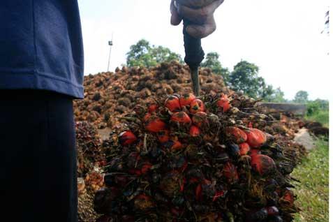 Petani memamen crude palm oil. Pemerintah memperkirakan harga CPO dalam kurun 1/2 tahun ke depan akan naik sejalan dengan kebijakan biodiesel