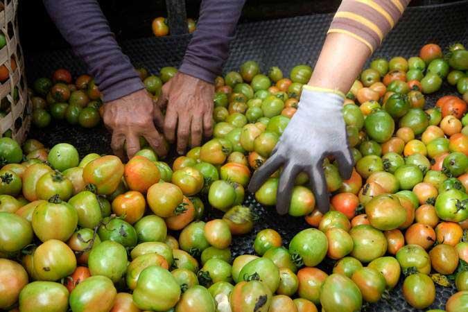 Pekerja menyortir tomat di areal persawahan Desa Bajangan, Parakan, Temanggung, Jawa Tengah, Senin (4/3/2019). - ANTARA/Anis Efizudin