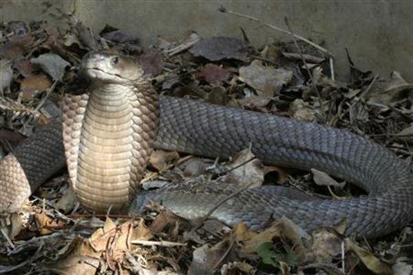 Ilustrasi kobra - Reuters