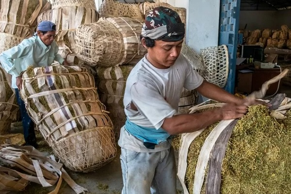 Pekerja menyortir tembakau rajangan di gudang penyimpanan tembakau milik sebuah industri rokok di Karangawen, Demak, Jawa Tengah, Senin (16/9/2019). - Antara