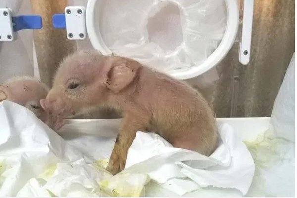 Ilmuwan asal Cina berhasil melahirkan hibrida babi-monyet pertama di dunia. - metro.co.uk