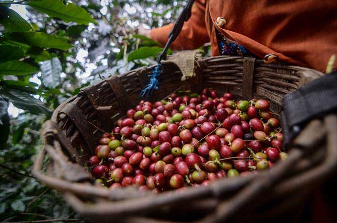 Ilustrasi petani memanen kopi. - Antara/Raisan Al Farisi