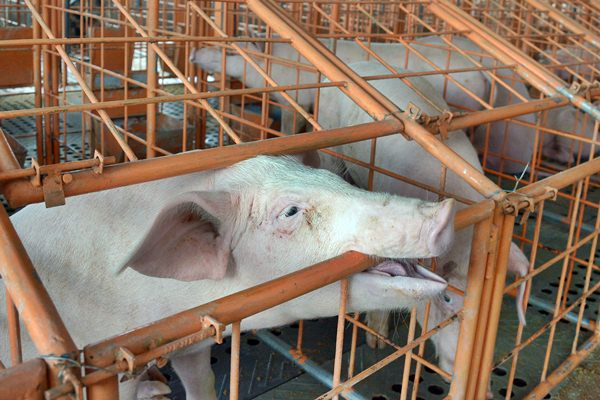 Peternakan babi di Denpasar, Bali, Senin (13/3). - Antara/Wira Suryantala