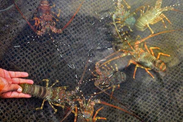 Petambak memperlihatkan udang lobster hasil budidaya di keramba apung, Pelabuhan Lama Ulee Lheue, Banda Aceh, Selasa (30/1). - ANTARA/Ampelsa