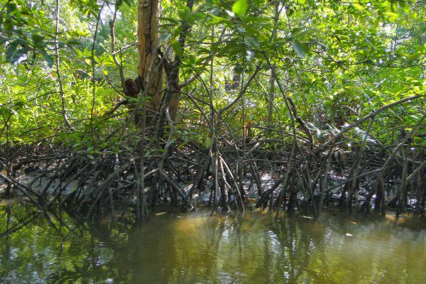 Mangrove. - en.wikipedia.org