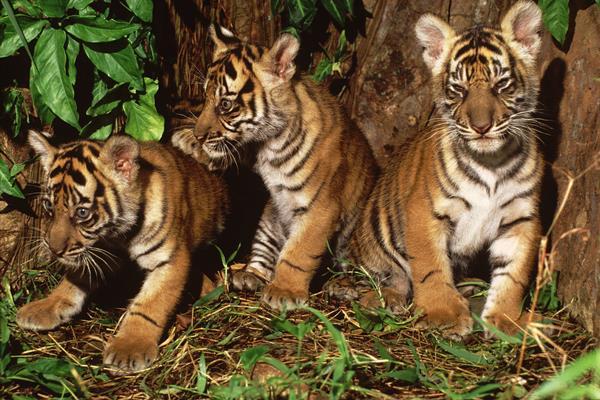 Harimau Sumatra - WWF