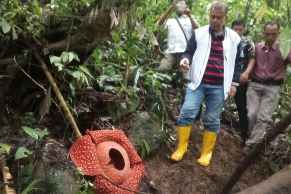 Wakil Gubernur Sumbar, Nasrul Abid sedang berada di bunga Rafflesia Tuan-mudae di Cagar Alam Maninjau Jorong Marambuang, Nagari Baringin, Kecamatan Palembayan, Kabupaten Agam, Kamis (2/1/2020). - Antara/Yusrizal