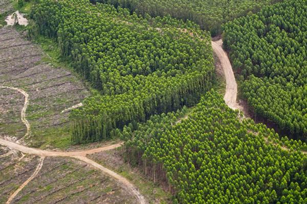 Perkebunan hutan tanaman industri APP-Sinar Mas di Kabupaten Siak, Riau, Jumat (24/2). - Antara/FB Anggoro