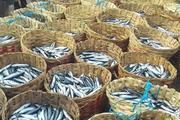 Ikan Lisong (Bullet Mackarel) hasil tangkapan ikan nelayan Palabuahnratu, Kabupaten Sukabumi. - Antara/Aditya AR