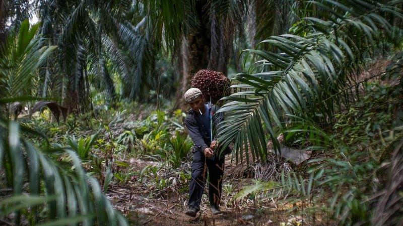 Ilustrasi pekerja membawa buah kelapa sawit. - Reuters/Samsul Said