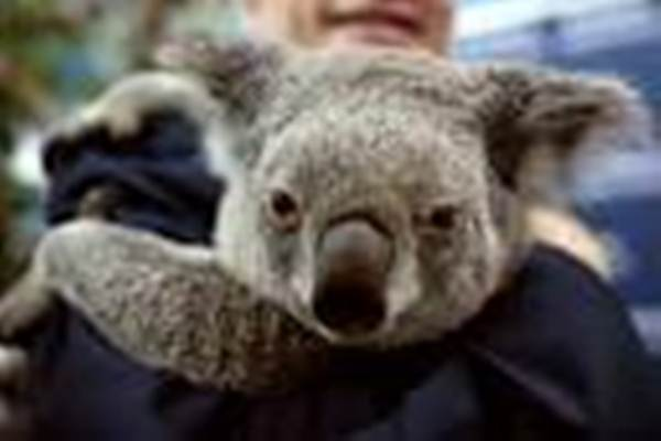 Koala. - REUTERS