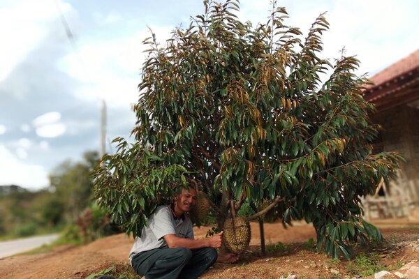 Ketua Gabungan Kelompok Tani (Gapoktan) Tani Manunggal Tengger, Rimo, menunjukkan buah durian varietas montong kuning atau durian pogog di kebunnya di Pogog, Tengger, Puhpelem, Wonogiri, Minggu (12/1 - 2020).