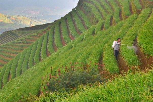 Petani menyemprot pestisida di ladang bawang miliknya di Argapura, Majalengka, Jawa Barat, Jumat (14/4). - Antara/Dedhez Anggara