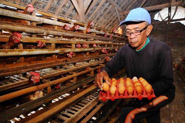 Peternak mengumpulkan telur ayam di Denggungan, Banyudono, Boyolali, Jawa Tengah, Rabu (26/12/2018). - ANTARA/Aloysius Jarot Nugroho