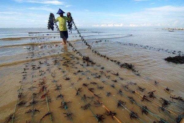 Petani menanam rumput laut di Pantai Jumiang, Pamekasan, Madura, Jawa Timur, Senin (3/4). - Antara/Saiful Bahri