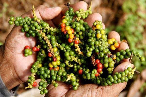 Petani memperlihatka biji lada yang sudah dipanen di Desa Batu Pannu, Mamuju, Sulawesi Barat, Jumat (14/12/2018). - ANTARA/Akbar Tado