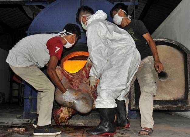 Pemusnahan organ sapi tertular penyakit  ke mesin incenerator. - Antara/Asep Fathulrahman