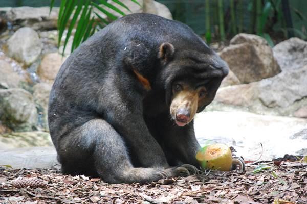 Beruang madu - wikipedia