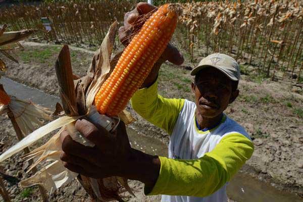 Petani memanen jagung. - Antara/Basri Marzuki