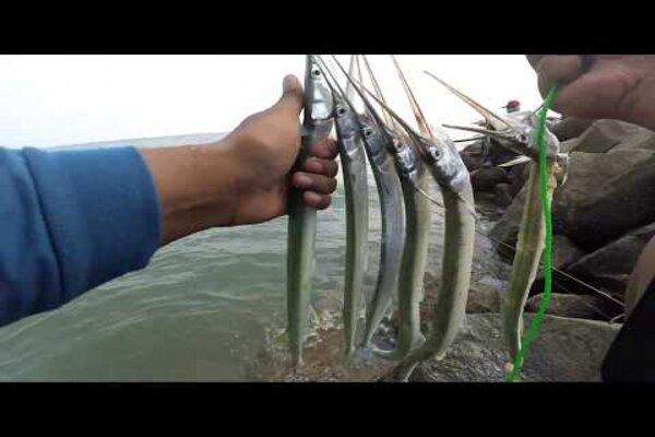 Ikan cenro alias cendro, yang memiliki bentuk runcing di bagian depan. - Youtube